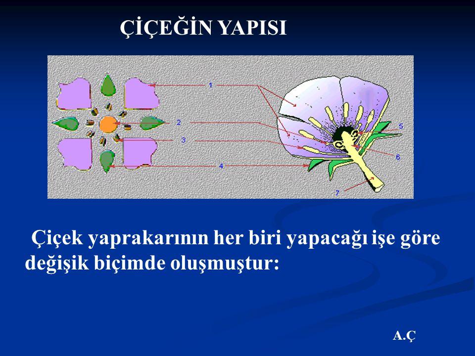 ÇİÇEĞİN YAPISI Çiçek yaprakarının her biri yapacağı işe göre değişik biçimde oluşmuştur: A.Ç