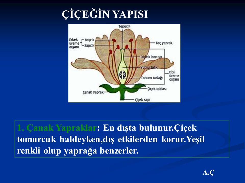 ÇİÇEĞİN YAPISI 1. Çanak Yapraklar: En dışta bulunur.Çiçek tomurcuk haldeyken,dış etkilerden korur.Yeşil renkli olup yaprağa benzerler.