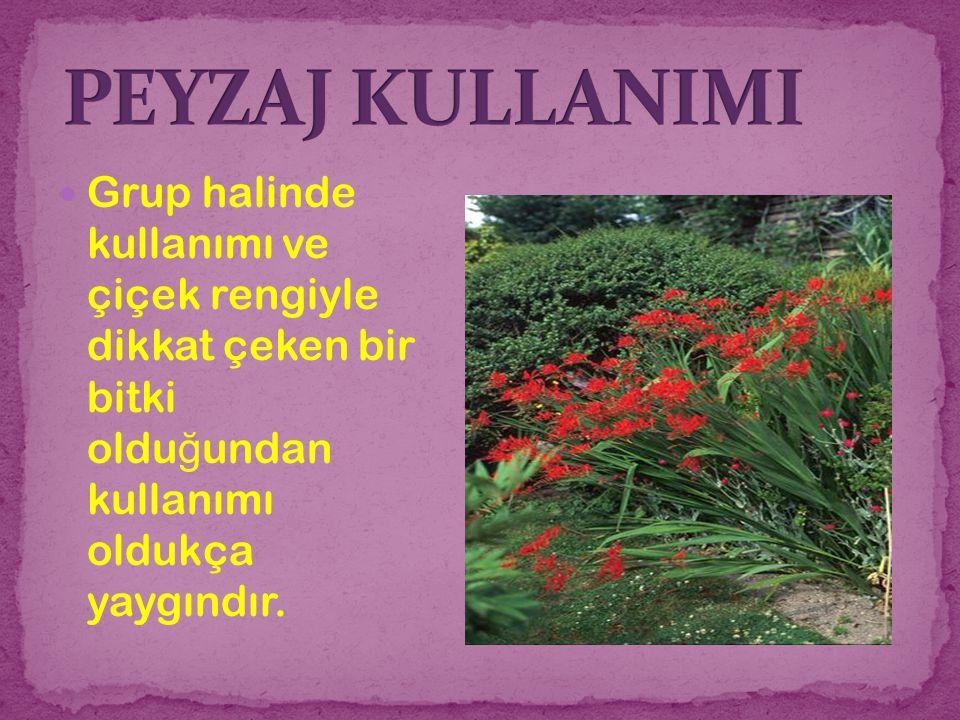 PEYZAJ KULLANIMI Grup halinde kullanımı ve çiçek rengiyle dikkat çeken bir bitki olduğundan kullanımı oldukça yaygındır.