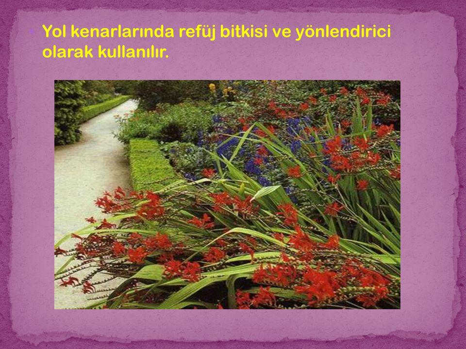 Yol kenarlarında refüj bitkisi ve yönlendirici olarak kullanılır.