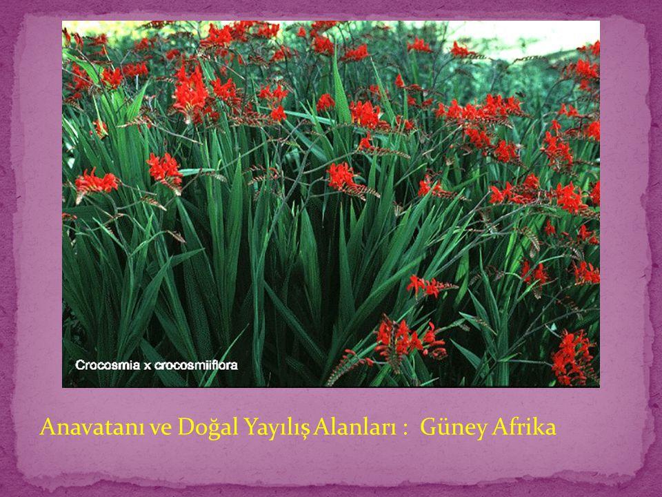 Anavatanı ve Doğal Yayılış Alanları : Güney Afrika