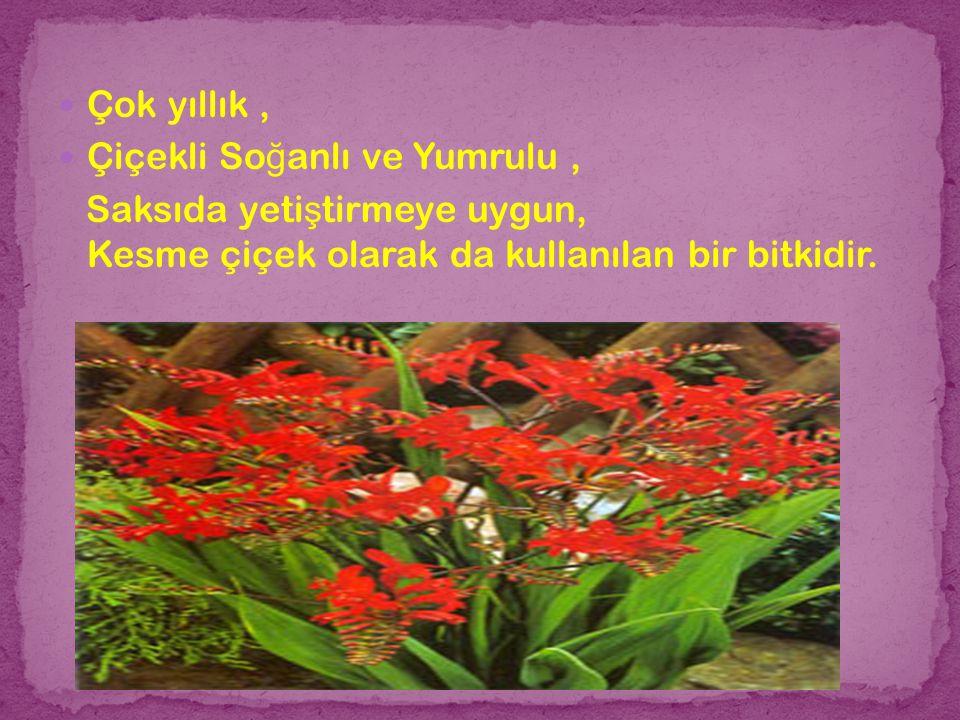 Çok yıllık , Çiçekli Soğanlı ve Yumrulu , Saksıda yetiştirmeye uygun, Kesme çiçek olarak da kullanılan bir bitkidir.