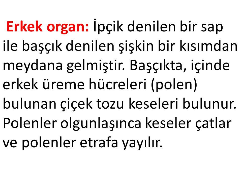 Erkek organ: İpçik denilen bir sap ile başçık denilen şişkin bir kısımdan meydana gelmiştir.