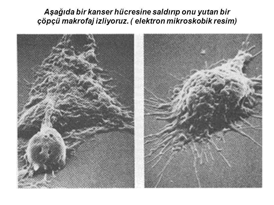 Aşağıda bir kanser hücresine saldırıp onu yutan bir çöpçü makrofaj izliyoruz.
