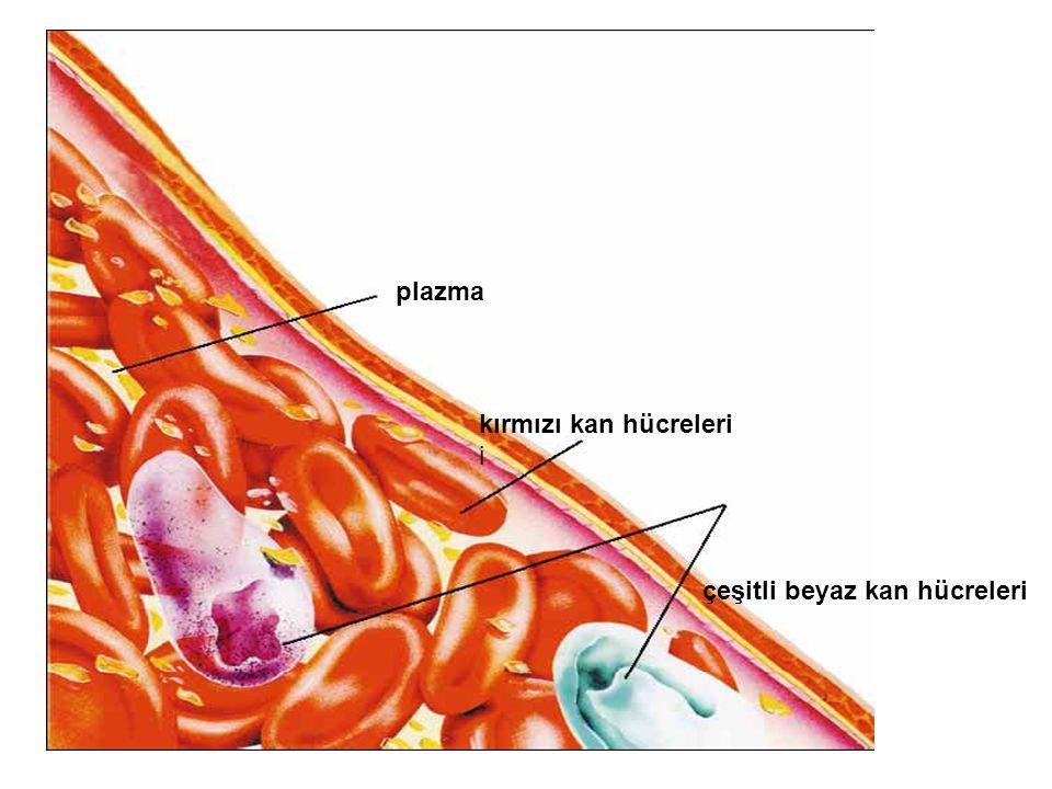 plazma kırmızı kan hücreleri i çeşitli beyaz kan hücreleri