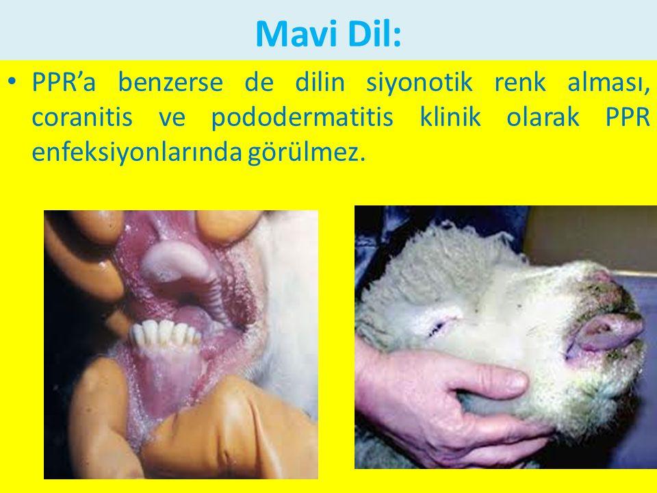 Mavi Dil: PPR'a benzerse de dilin siyonotik renk alması, coranitis ve pododermatitis klinik olarak PPR enfeksiyonlarında görülmez.