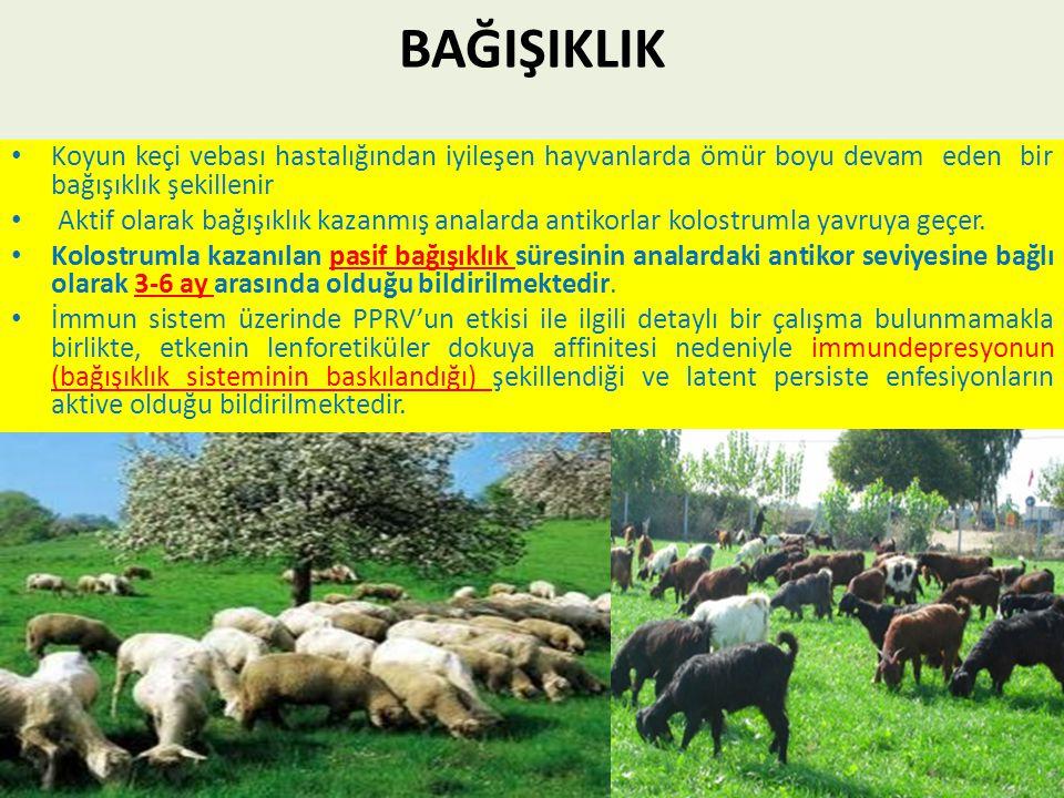 BAĞIŞIKLIK Koyun keçi vebası hastalığından iyileşen hayvanlarda ömür boyu devam eden bir bağışıklık şekillenir.