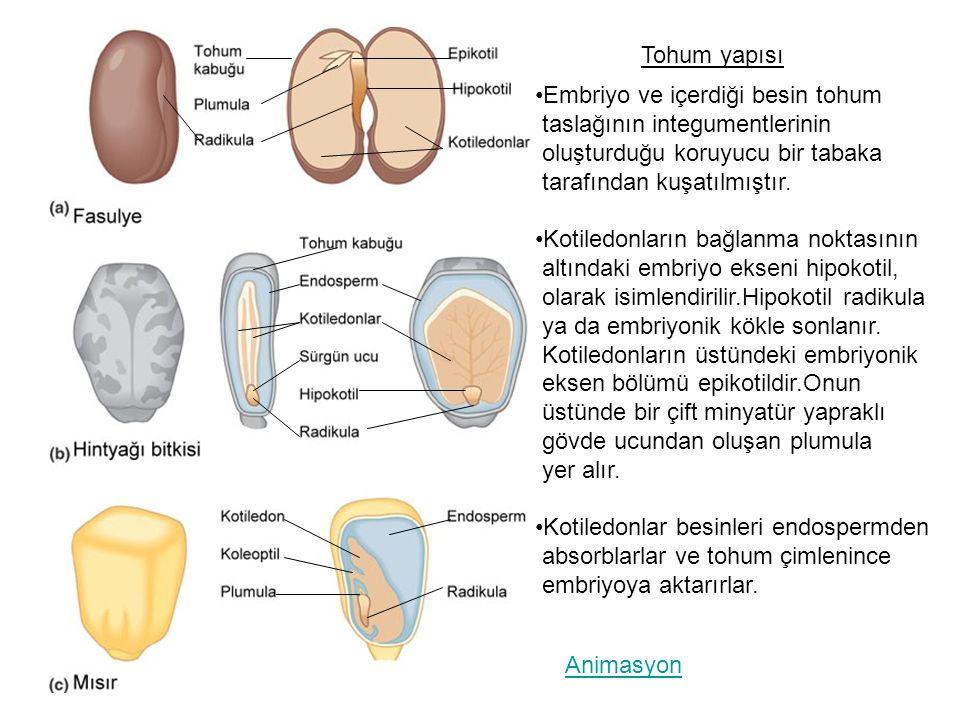Tohum yapısı Embriyo ve içerdiği besin tohum. taslağının integumentlerinin. oluşturduğu koruyucu bir tabaka.