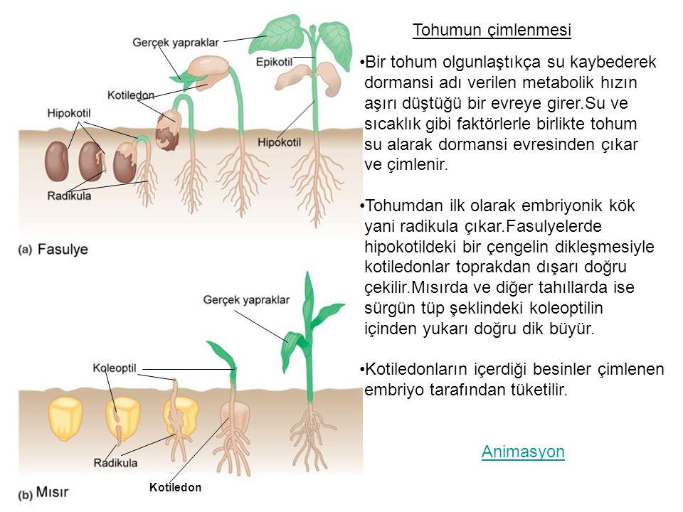 Bir tohum olgunlaştıkça su kaybederek