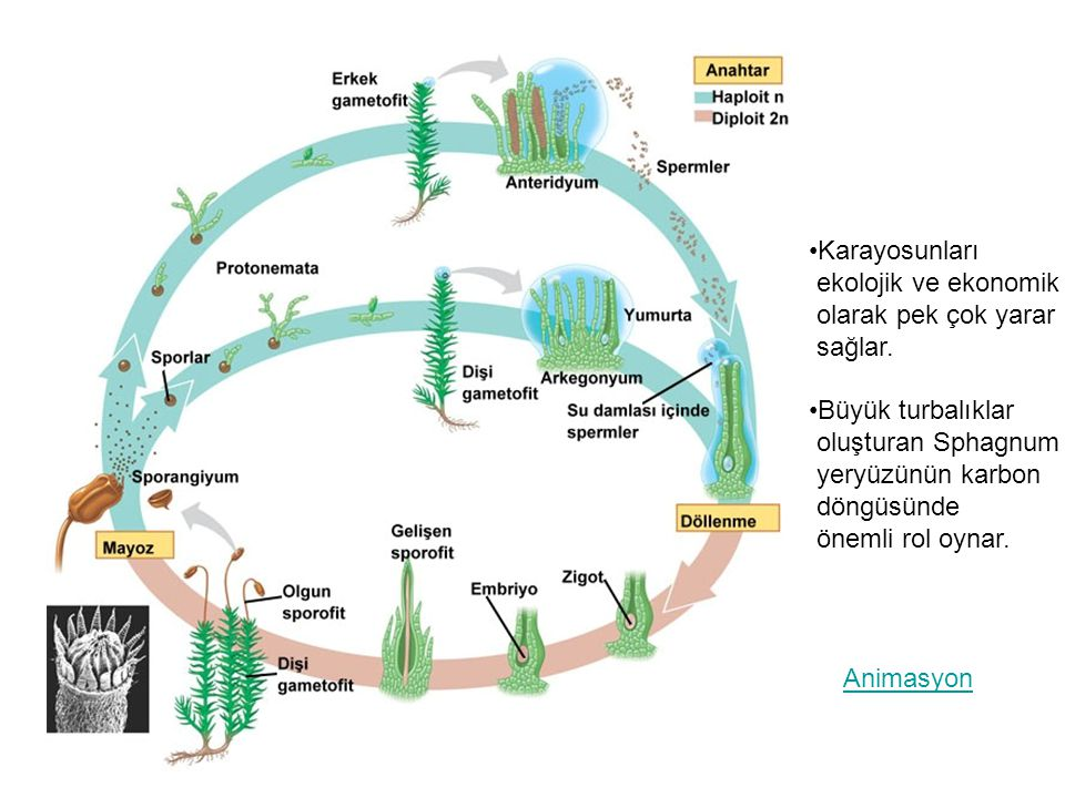 Karayosunları ekolojik ve ekonomik. olarak pek çok yarar. sağlar. Büyük turbalıklar. oluşturan Sphagnum.