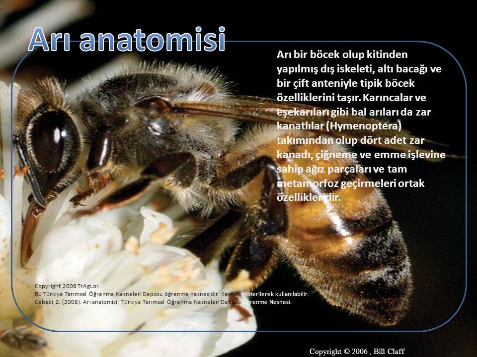 Arı anatomisi