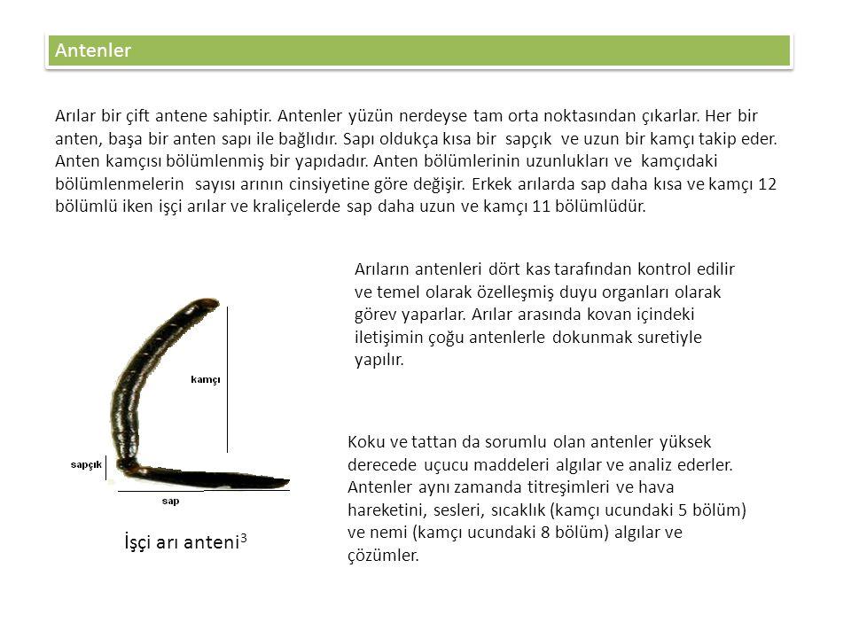 Antenler İşçi arı anteni3
