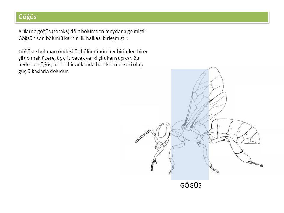 Göğüs Arılarda göğüs (toraks) dört bölümden meydana gelmiştir. Göğsün son bölümü karnın ilk halkası birleşmiştir.