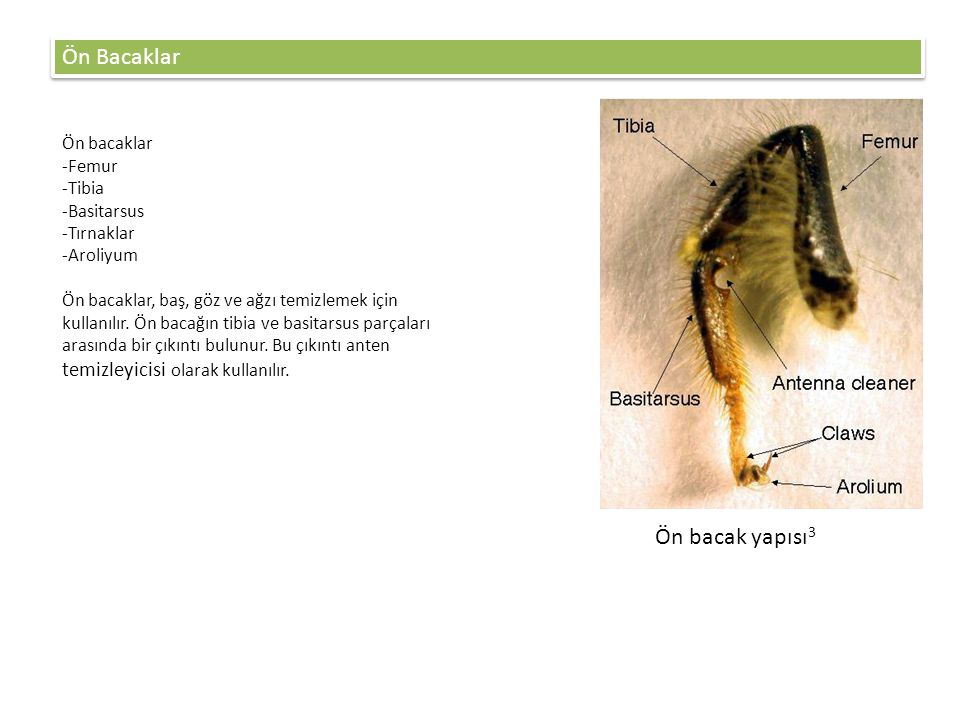 Ön Bacaklar Ön bacak yapısı3 Ön bacaklar Femur Tibia Basitarsus