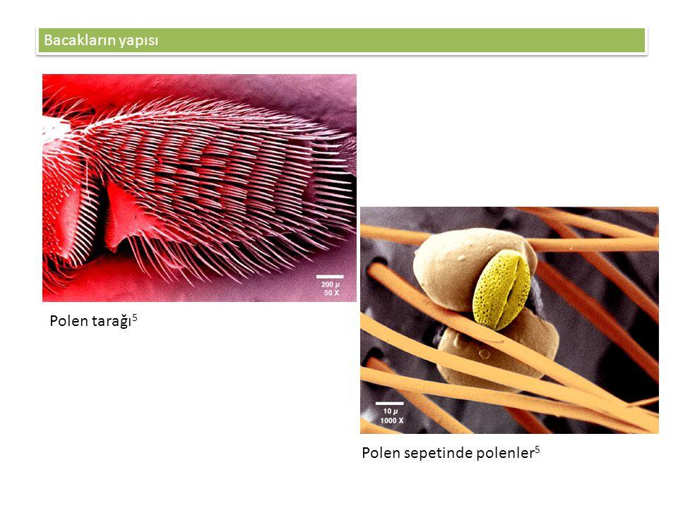 Bacakların yapısı Polen tarağı5 Polen sepetinde polenler5