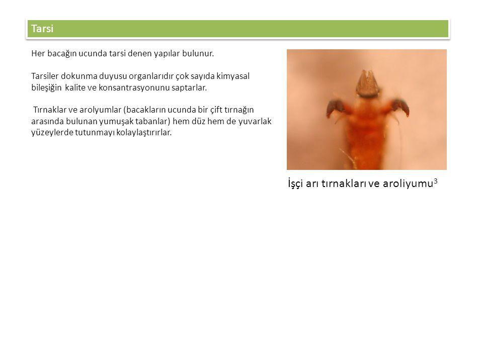 İşçi arı tırnakları ve aroliyumu3