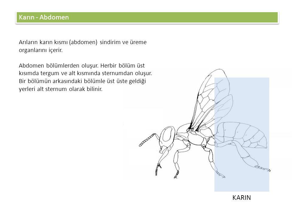 Karın - Abdomen Arıların karın kısmı (abdomen) sindirim ve üreme organlarını içerir.