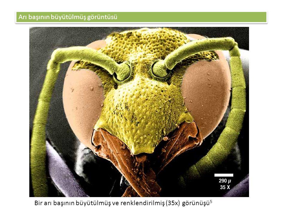 Arı başının büyütülmüş görüntüsü