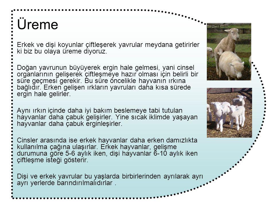 Üreme Erkek ve dişi koyunlar çiftleşerek yavrular meydana getirirler ki biz bu olaya üreme diyoruz.
