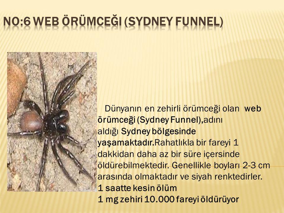No:6 web örümceği (Sydney Funnel)