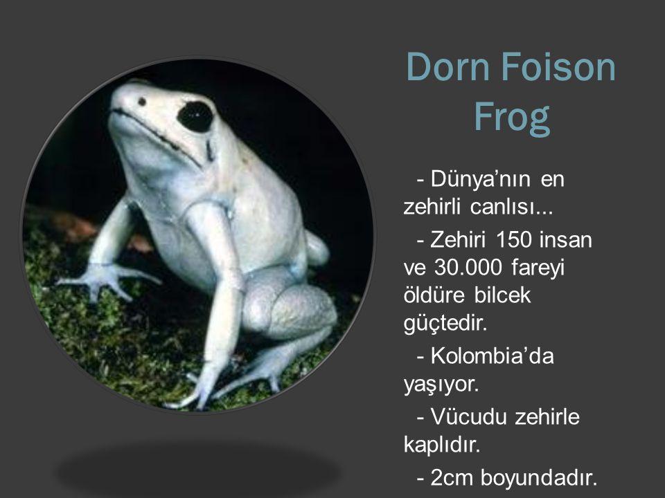 Dorn Foison Frog - Dünya'nın en zehirli canlısı...