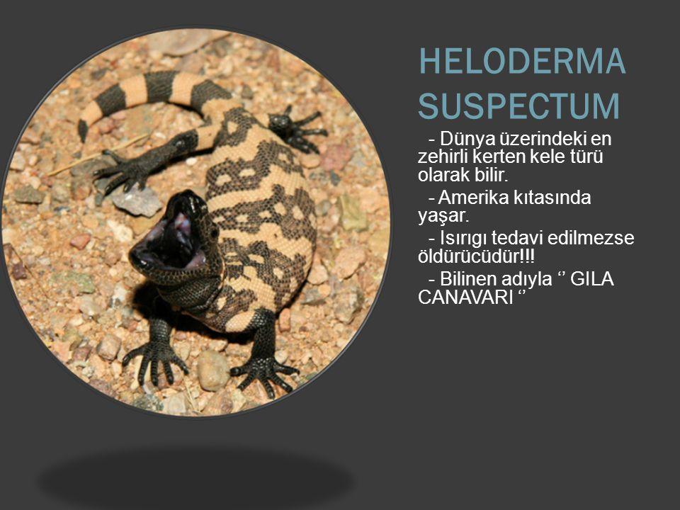 HELODERMA SUSPECTUM - Dünya üzerindeki en zehirli kerten kele türü olarak bilir. - Amerika kıtasında yaşar.