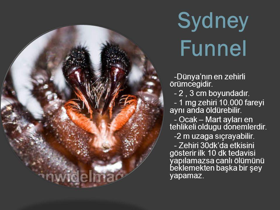 Sydney Funnel -Dünya'nın en zehirli örümcegidir.