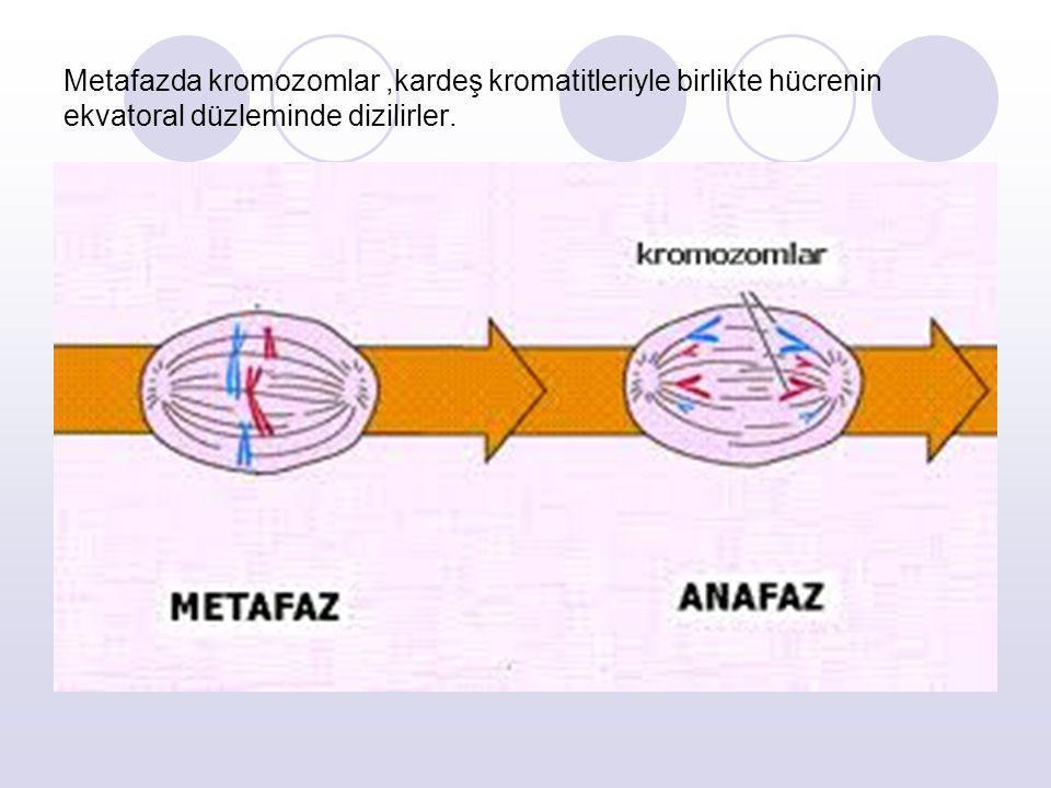 Metafazda kromozomlar ,kardeş kromatitleriyle birlikte hücrenin ekvatoral düzleminde dizilirler.