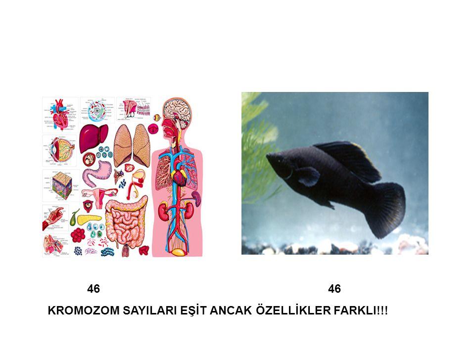 46 46 KROMOZOM SAYILARI EŞİT ANCAK ÖZELLİKLER FARKLI!!!