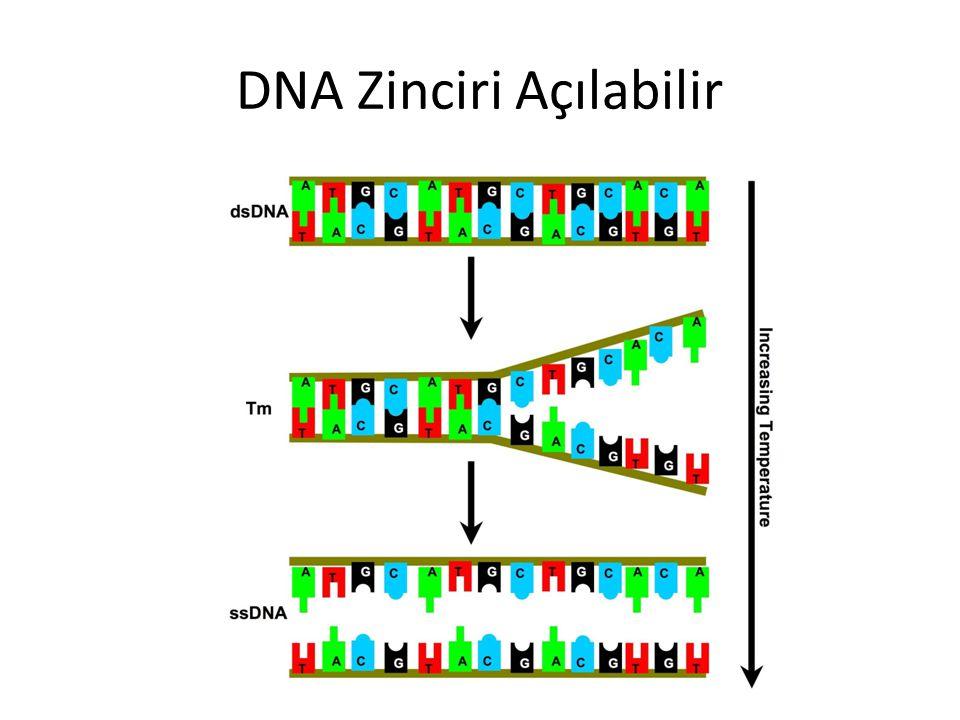 DNA Zinciri Açılabilir