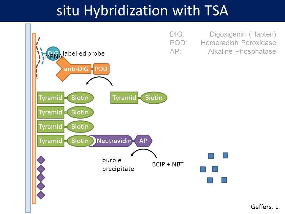 situ Hybridization with TSA