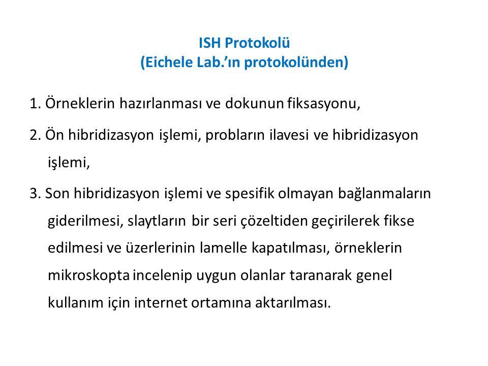 ISH Protokolü (Eichele Lab.'ın protokolünden)