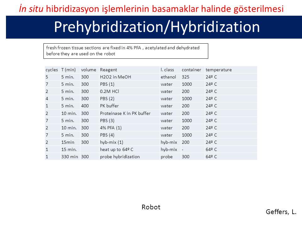 İn situ hibridizasyon işlemlerinin basamaklar halinde gösterilmesi