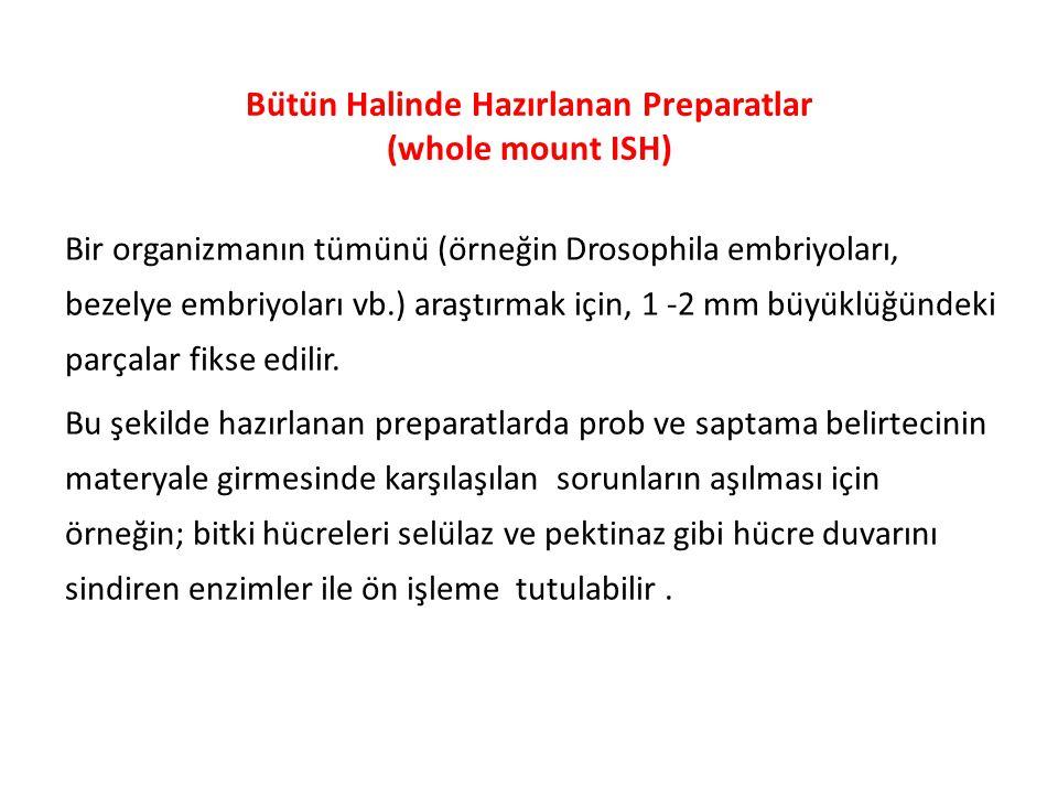 Bütün Halinde Hazırlanan Preparatlar (whole mount ISH)