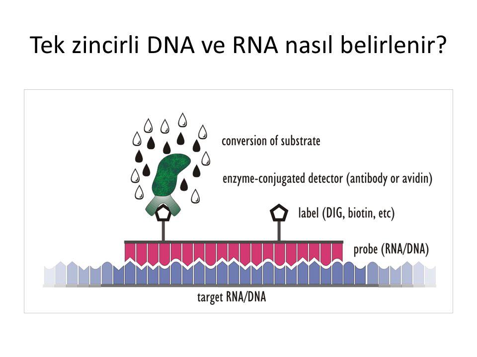 Tek zincirli DNA ve RNA nasıl belirlenir
