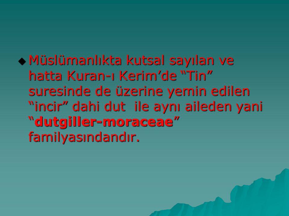 Müslümanlıkta kutsal sayılan ve hatta Kuran-ı Kerim'de Tin suresinde de üzerine yemin edilen incir dahi dut ile aynı aileden yani dutgiller-moraceae familyasındandır.