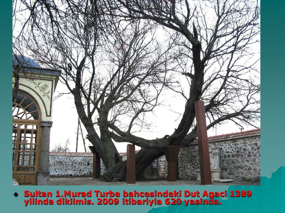 Sultan 1. Murad Turbe bahcesindeki Dut Agaci 1389 yilinda dikilmis