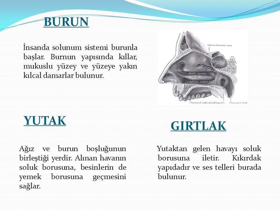 BURUN İnsanda solunum sistemi burunla başlar. Burnun yapısında kıllar, mukuslu yüzey ve yüzeye yakın kılcal damarlar bulunur.