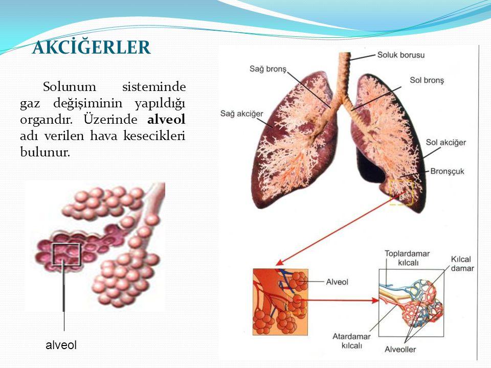 AKCİĞERLER Solunum sisteminde gaz değişiminin yapıldığı organdır. Üzerinde alveol adı verilen hava kesecikleri bulunur.