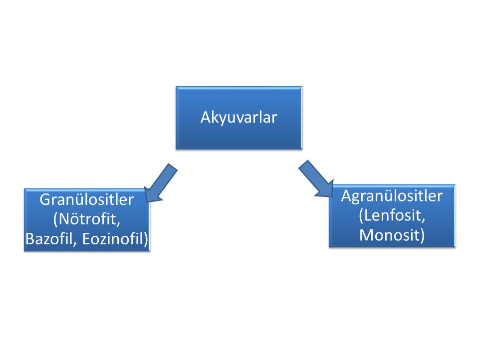 Granülositler (Nötrofit, Bazofil, Eozinofil) Akyuvarlar