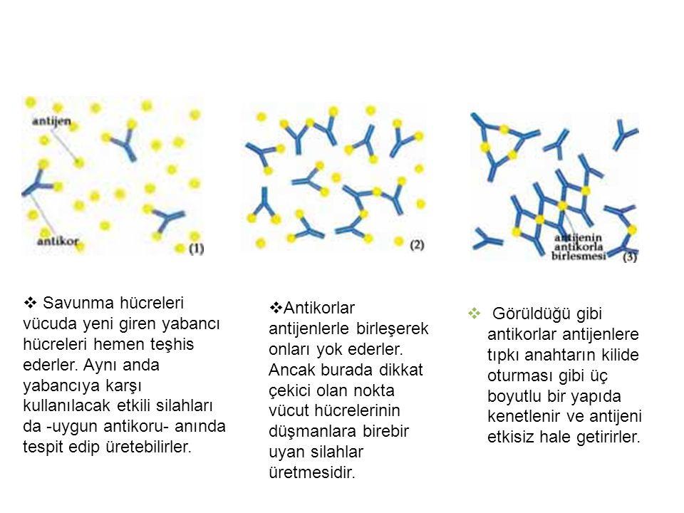 Savunma hücreleri vücuda yeni giren yabancı hücreleri hemen teşhis ederler. Aynı anda yabancıya karşı kullanılacak etkili silahları da -uygun antikoru- anında tespit edip üretebilirler.