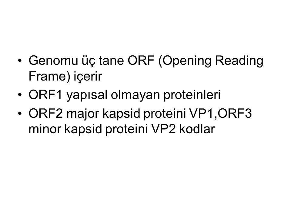 Genomu üç tane ORF (Opening Reading Frame) içerir