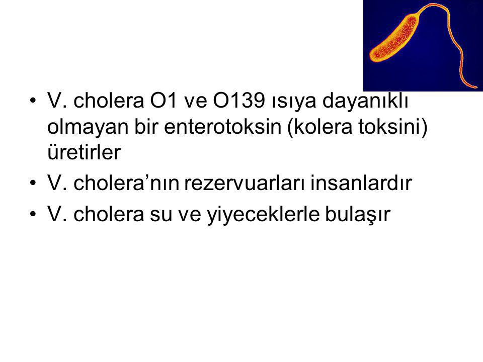 V. cholera O1 ve O139 ısıya dayanıklı olmayan bir enterotoksin (kolera toksini) üretirler