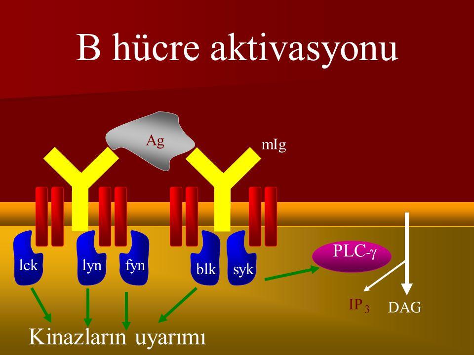 B hücre aktivasyonu Kinazların uyarımı PLC-g Ag mIg PIP lck lyn fyn