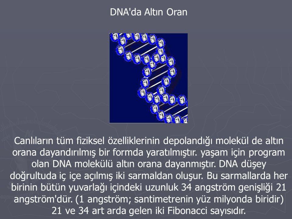 DNA da Altın Oran