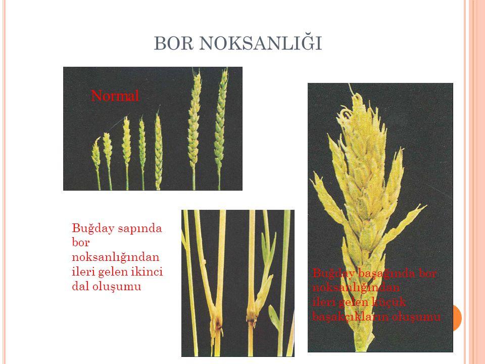 BOR NOKSANLIĞI Normal. Buğday sapında bor noksanlığından ileri gelen ikinci dal oluşumu.