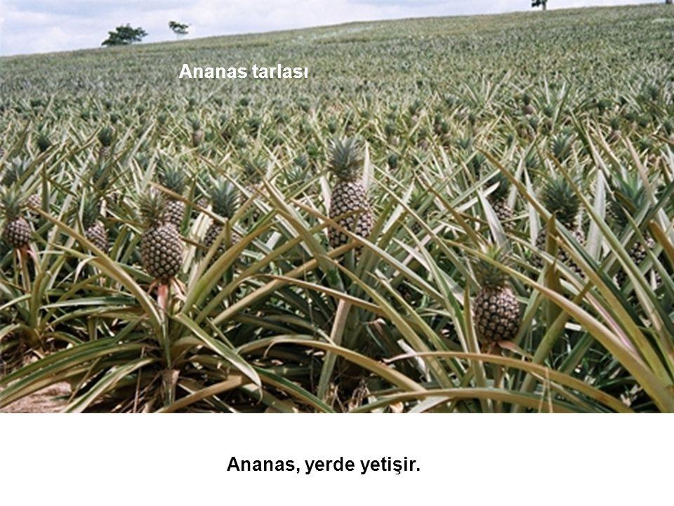 Ananas tarlası Ananas, yerde yetişir.
