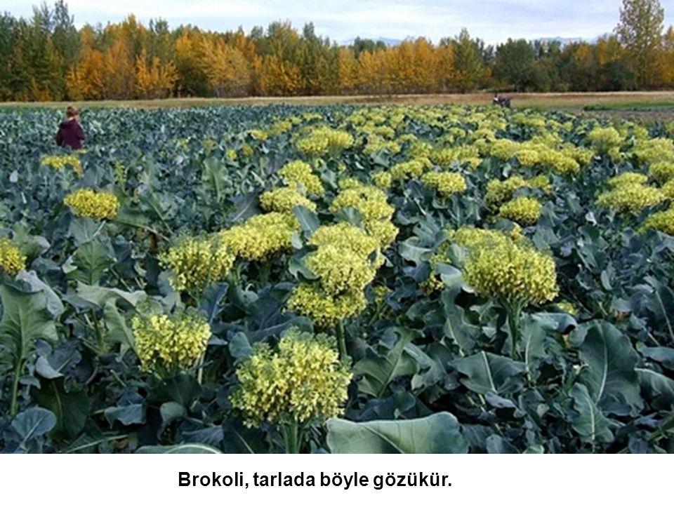 Brokoli, tarlada böyle gözükür.