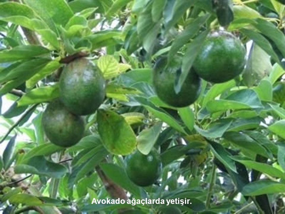 Avokado ağaçlarda yetişir.