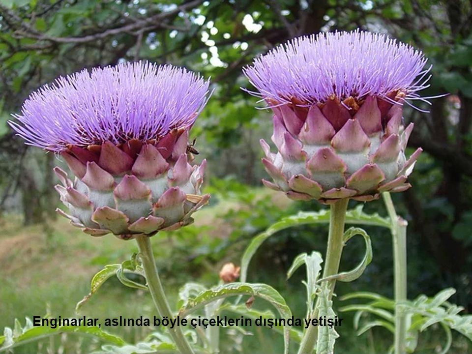 Enginarlar, aslında böyle çiçeklerin dışında yetişir